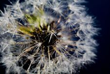 Free White Dandelion With Water Drops Stock Photo - 120150020