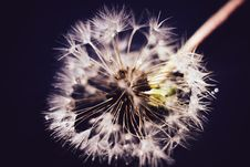 White Dandelion With Water Drops Retro Stock Photography