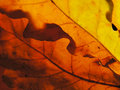 Free Autumn Palette With Sun Through Oak Leaves Royalty Free Stock Images - 12020729