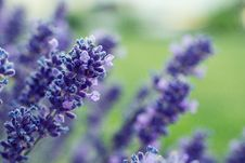 Free Selective Focus Photography Of Purple Lavender Flower Royalty Free Stock Photos - 120264328