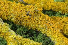 Free Yellow Lichen On A Branch Royalty Free Stock Image - 12032276