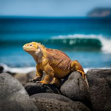 Free Orange Iguana Standing On Rocks Stock Photos - 120360943