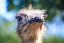 Free Closeup Photo Of Ostrich Head Royalty Free Stock Images - 120361079