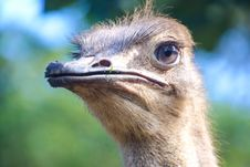Free Closeup Photo Of Ostrich Head Stock Images - 120361084