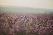 Free Lavender Flower Field Stock Photos - 120361103