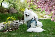 Free Adult Medium-coated White Dog Standing On Grass Field Beside A Cherry Blossom Tree Royalty Free Stock Photos - 120361118