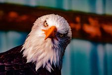 Free Bald Eagle Head Stock Images - 120361124