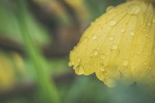 Free Closeup Photo Of Yellow Petaled Flower With Dew Drops Royalty Free Stock Photos - 120361128