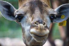 Free Closeup Photo Of Giraffe S Face Stock Photos - 120361143