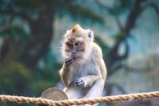 Free Wildlife Photo Of Rhesus Macaque Monkey. Stock Images - 120361164