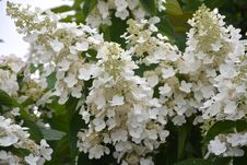 Free Plant, Flower, Hydrangea, Nannyberry Royalty Free Stock Image - 120411836