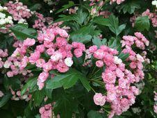 Free Plant, Flower, Flowering Plant, Hydrangea Stock Images - 120411854