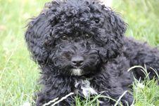 Free Dog Like Mammal, Dog, Dog Breed, Spanish Water Dog Royalty Free Stock Image - 120412006
