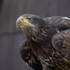 Free Beak, Eagle, Bird Of Prey, Bird Stock Images - 120412084