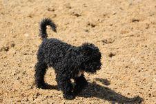 Free Dog Like Mammal, Dog, Dog Breed, Spanish Water Dog Stock Image - 120412101