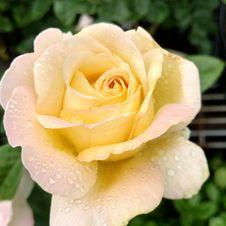 Free Rose, Flower, Rose Family, Floribunda Royalty Free Stock Photos - 120412208