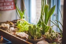 Free Cactus Plants On Brown Pot Royalty Free Stock Photography - 120462667