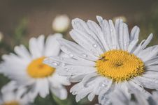 Free Macro Photography Of White Daisy Flowers Stock Images - 120462694