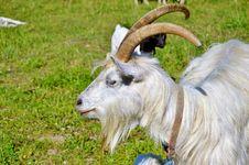 Free Goats, Horn, Goat, Feral Goat Stock Image - 120483001