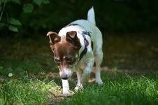Free Dog Breed, Grass, Dog, Jack Russell Terrier Stock Image - 120483111
