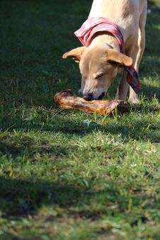 Free Dog, Dog Breed, Grass, Dog Like Mammal Royalty Free Stock Photos - 120483158
