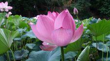 Free Flower, Lotus, Plant, Sacred Lotus Royalty Free Stock Image - 120483186
