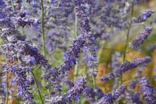 Free Lavender, English Lavender, Lilac, Plant Stock Photos - 120483213