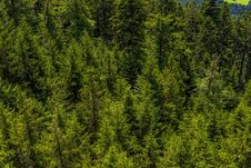 Free Spruce Fir Forest, Vegetation, Ecosystem, Tropical And Subtropical Coniferous Forests Royalty Free Stock Images - 120483249