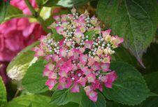 Free Flower, Plant, Flowering Plant, Hydrangea Royalty Free Stock Photo - 120483315