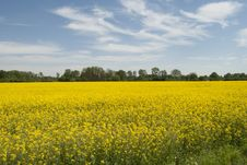 Free Rapeseed, Yellow, Field, Canola Stock Photography - 120483472