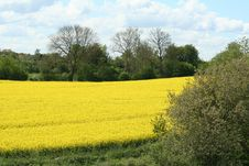 Free Field, Rapeseed, Yellow, Canola Royalty Free Stock Photo - 120483475