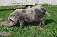 Free Pig, Pig Like Mammal, Domestic Pig, Fauna Stock Photos - 120483493