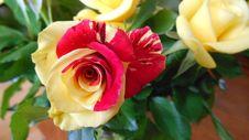 Free Flower, Rose, Rose Family, Floribunda Stock Images - 120483544