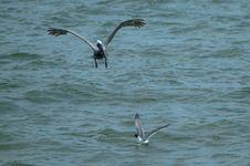 Free Bird, Seabird, Fauna, Sea Stock Images - 120483574