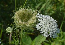 Free Plant, Cow Parsley, Apiales, Parsley Family Royalty Free Stock Photography - 120483607