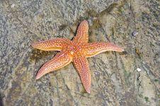 Free Starfish, Marine Invertebrates, Echinoderm, Invertebrate Royalty Free Stock Photo - 120483685