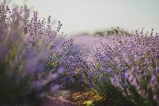 Free Purple Flower Field Royalty Free Stock Photos - 120524098