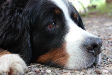 Free Dog, Bernese Mountain Dog, Dog Breed, Dog Like Mammal Stock Photography - 120554252