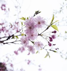 Free Flower, Blossom, Branch, Cherry Blossom Stock Photos - 120554303