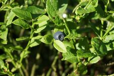 Free Plant, Leaf, Bilberry, Flora Stock Images - 120554354