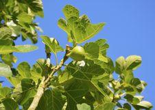 Free Leaf, Plant, Fruit Tree, Tree Royalty Free Stock Photo - 120554375