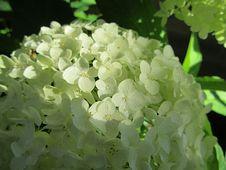 Free Flower, Hydrangea, Plant, Viburnum Stock Photography - 120554422