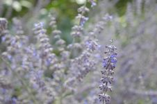 Free Plant, Lavender, English Lavender, Flower Royalty Free Stock Photos - 120554478