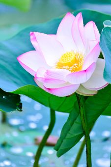 Free Flower, Lotus, Sacred Lotus, Aquatic Plant Stock Photography - 120554562