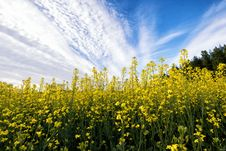 Free Rapeseed, Yellow, Canola, Field Royalty Free Stock Photography - 120554607