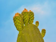 Free Barbary Fig, Nopal, Cactus, Prickly Pear Royalty Free Stock Photography - 120554687