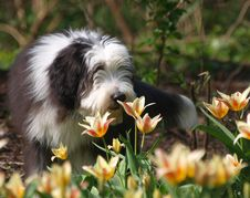 Free Dog Breed, Dog Like Mammal, Dog, Bearded Collie Stock Images - 120554694