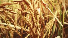 Free Food Grain, Wheat, Grass Family, Grain Royalty Free Stock Photos - 120554698