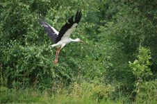 Free Bird, White Stork, Stork, Ecosystem Royalty Free Stock Photos - 120554818