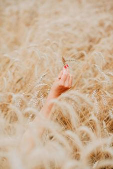 Free Person S Right Hand Holding Brown Wheat Plant Stock Image - 120632801